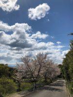 道中桜並木